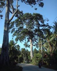 island\'s tallest tree