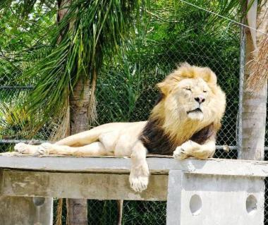Big Cat Habitat And Gulf Coast Sanctuary Tours