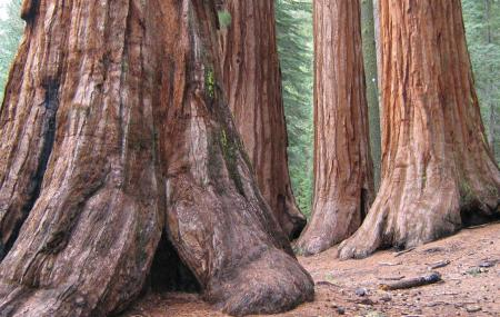 Mariposa Grove Of Giant Sequoias, Yosemite National Park