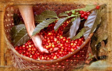 Mountain Thunder Coffee Plantation Image