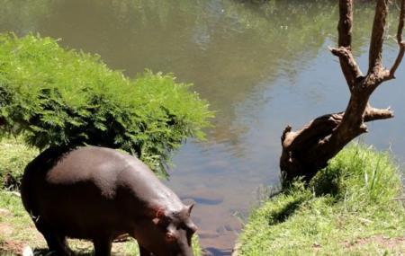 Hippo Jessica, Hoedspruit