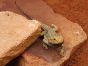 Alice Springs Reptile Centre, Alice Springs