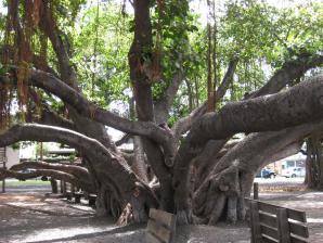 Banyan Tree Park, Lahaina